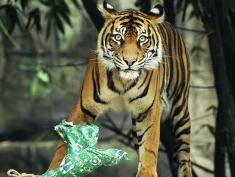 at Taronga Zoo on December 21, 2011 in Sydney, Australia. Animals received Christmas themed enrichment foods as part of the Zoo's regular program to encourage the animals to forage for food and help improve hunting abilities.
