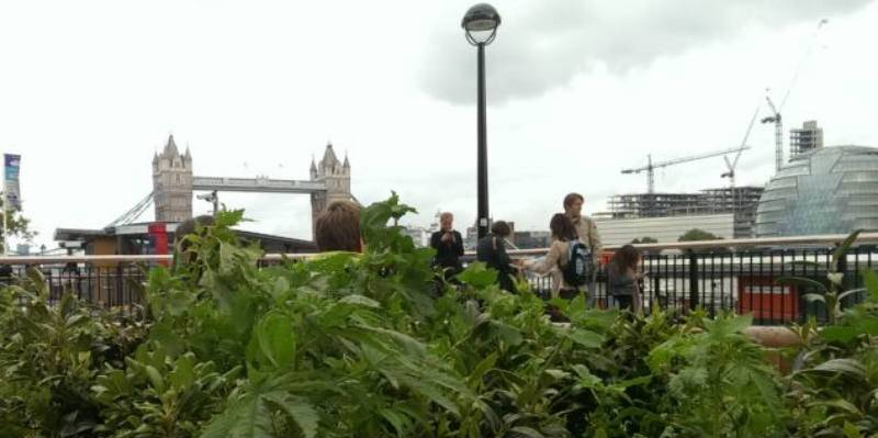 Marihuana rośnie na skwerkach w Londynie obok Big Bena, Tower Bridge i The Shard
